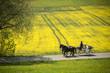 pferdekutsche am Rapsfeld in der Natur