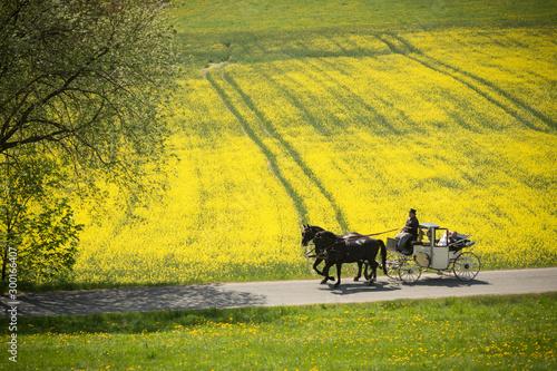 Wall Murals Yellow pferdekutsche am Rapsfeld in der Natur