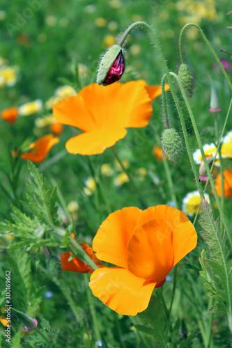 Fiore di Escolzia  e bocciolo con erba Canvas Print