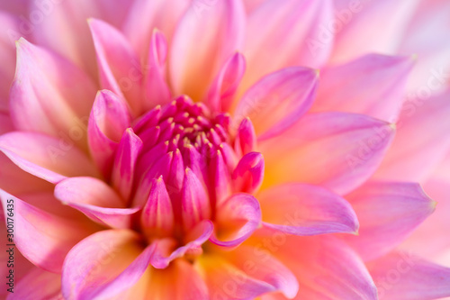 Dahlia flower Fototapet
