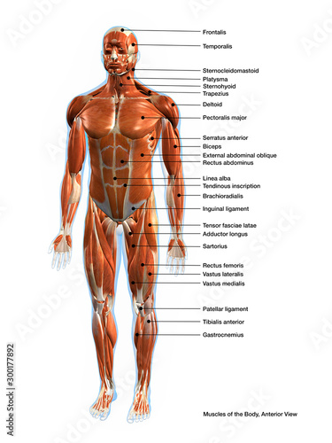 Fotografie, Tablou  Labeled Muscles of the Human Body Chart, Anterior View