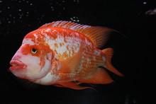 Red Fish In Aquarium