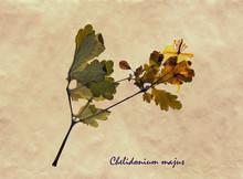 Chelidonium Majus In Herbarium