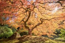 Japense Tree In Autumn