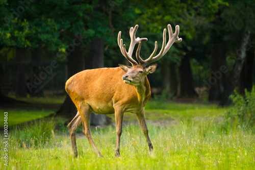 Poster Cerf Red deer stag in summer