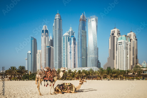 Dubai camelson beach in front of skyscrapers in UAE Canvas Print