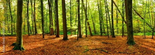 Fond de hotte en verre imprimé Route dans la forêt Panorama of a bright forest with big trees, a lot of autumn leaves on the forest floor and sunlight in the background