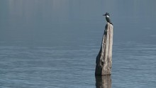 Telephoto Of A Red Crested Woodpecker Perched On A Lake Log Flying Away