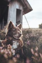 Hund In Heide