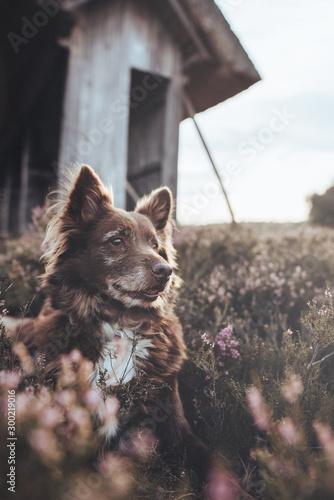 Fotografie, Obraz Hund in Heide