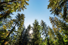Black Forest Fir Trees And Blue Sky