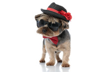 Yorkshire Terrier Dog Wearing Hat And Sunglasses Looking Away