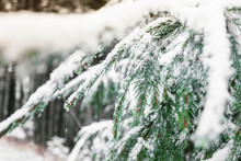 Fir Branch In The Snow In The Forest