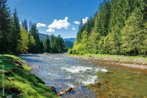 Garden Poster Forest river landscape with mountain river among spruce forest. beautiful sunny morning in springtime. grassy river bank and rocks on the shore. waves above boulders in the water. white fluffy cloud on the blue sk