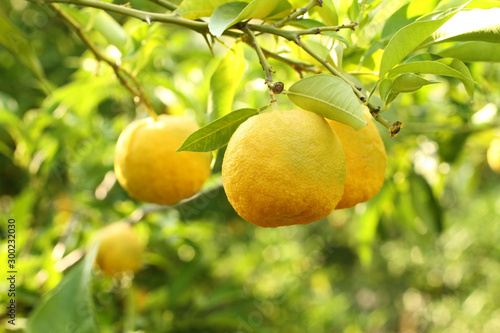 Fototapeta Ripe yellow fruits on Yuzu - Japanese lemon bush. Closeup obraz