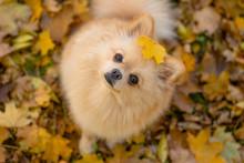 Red Pomeranian German Spitz Si...