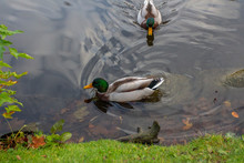 Two Ducks In Pond