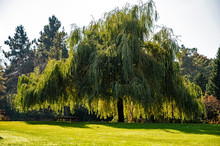 Weeping Willow Tree In A City ...