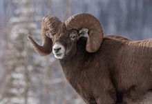 Bighorn Sheep In Canada