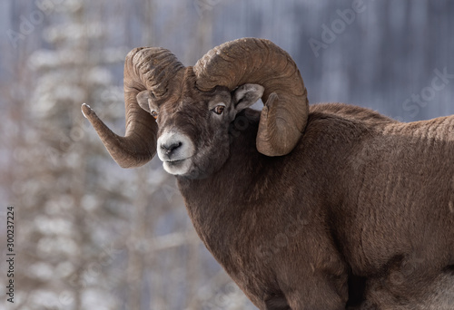 Photo Bighorn Sheep in Canada