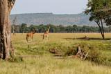 Giraffes in the Masai Mara Game Reserve in Kenya