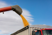 Red Combine Harvester Using Bin Auger For Loading Yellow Corn Kernels Into Grain Truck. Sunny Fall Day With Blue Sky During Harvest Season