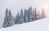 Fototapeta Fototapety na ścianę - Beautiful sunset at winter mountains landscape. Vivid white spruces on a snowy day.  Alpine ski resort. Winter greeting card. Happy New Year