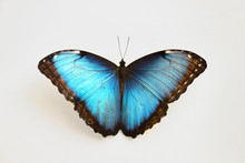 Beautiful Blue Morpho Butterfly On White Background