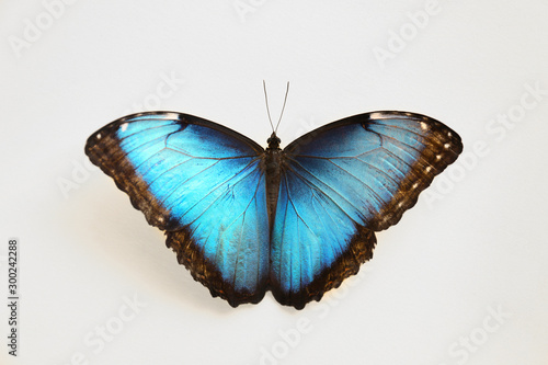 Valokuvatapetti Beautiful Blue Morpho butterfly on white background