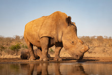 Gigantic Adult Rhino Drinking From A Waterhole In South Africa