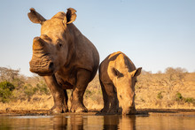 Adult And Baby Rhino Drinking ...