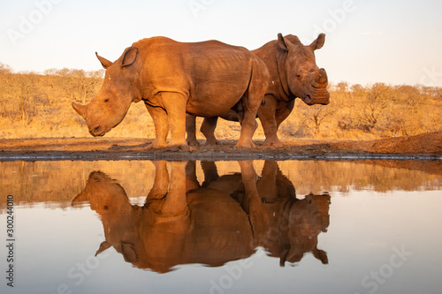 Mother and baby rhino getting ready to drink Canvas Print