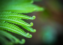 Close Up Green Fern Leaves Rol...