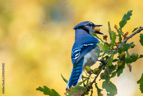 Canvastavla Blue jay bird perched in a acorn tree with a large acorn in its mouth or beak