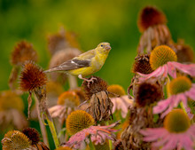 Female American Goldfinch Eating Cone Flower Seeds