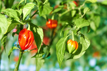 Habanero Plant Featuring Fresh, Ripe Habanero Peppers, Ready For Picking.
