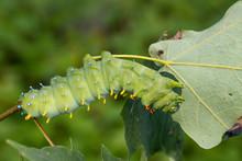 Cecropia Moth Caterpillar - Hy...