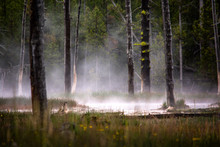 Lodgepole Burnt Trees From Volcanic Activity In Yellowstone National Park