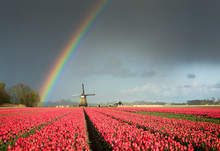 Red Tulips, A Windmill And A R...