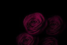 Pink Rose In The Dark.  暗闇...