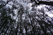 Tall Trees Facing Skies