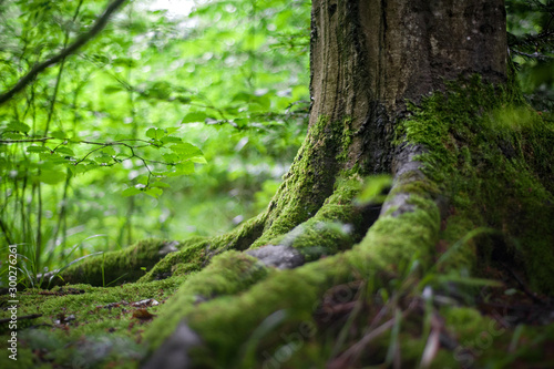 tree in forest - 300276261