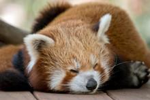 The Red Panda Is Sleeping