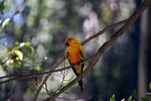 The Sun Conure Is On A Tree Branch