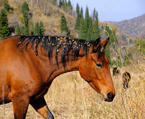 Obraz na plátně Funny portrait of a horse with thorns on his head and mane on the mountain pastu