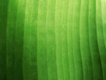 Green Banana Leaf Texture Back...
