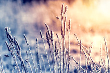 Winter Landscape Grass In Frost On A Snowy Field At Sunrise.