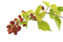 Branch Ripening Blackberries Isolated On White