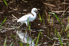 Elegant Great Egret Walking In...