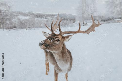 Photo Beautiful deer in heavy winter.